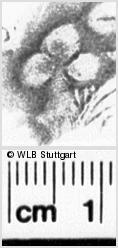 Image Description for https://www.wlb-stuttgart.de/kyriss/images/s0061814.jpg
